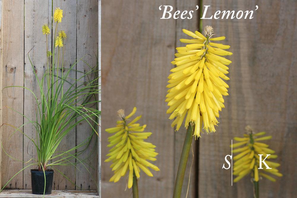 Kniphofia Bees Lemon