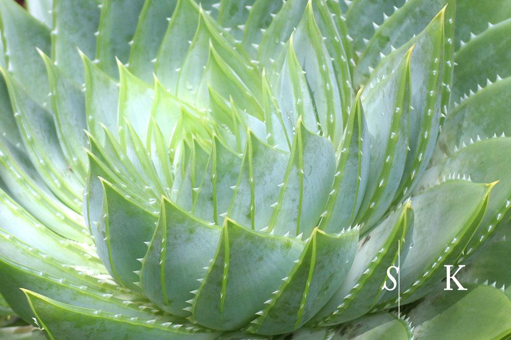 Tremenheere Garden Aloe
