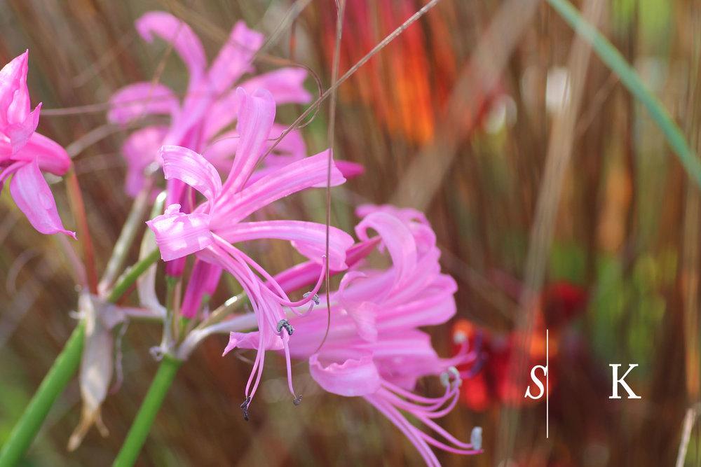 Cornwall Garden Design Nerine