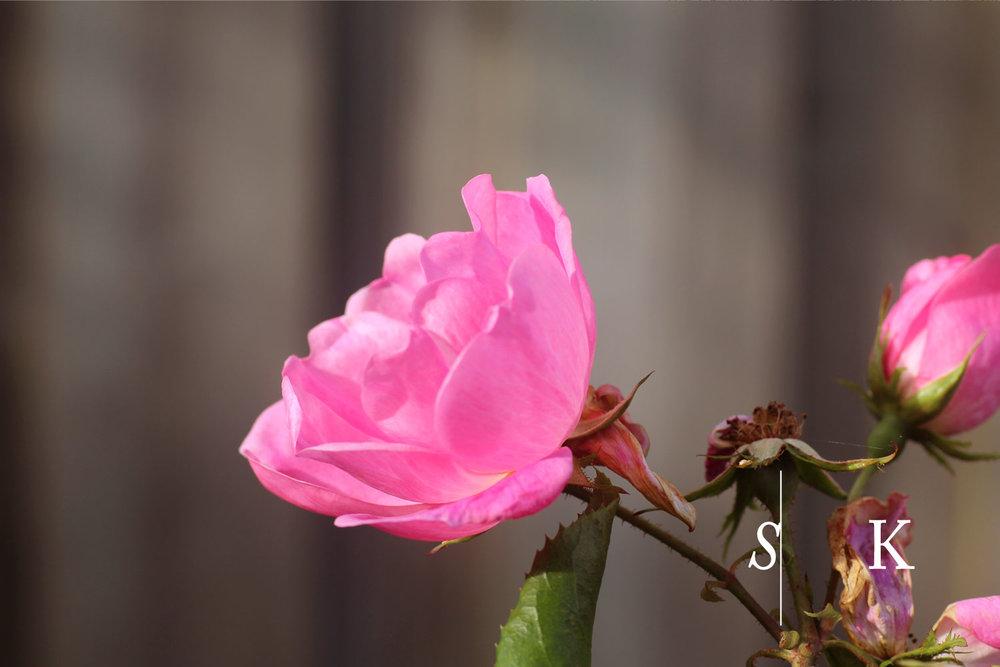 Cornwall Garden Design Rose