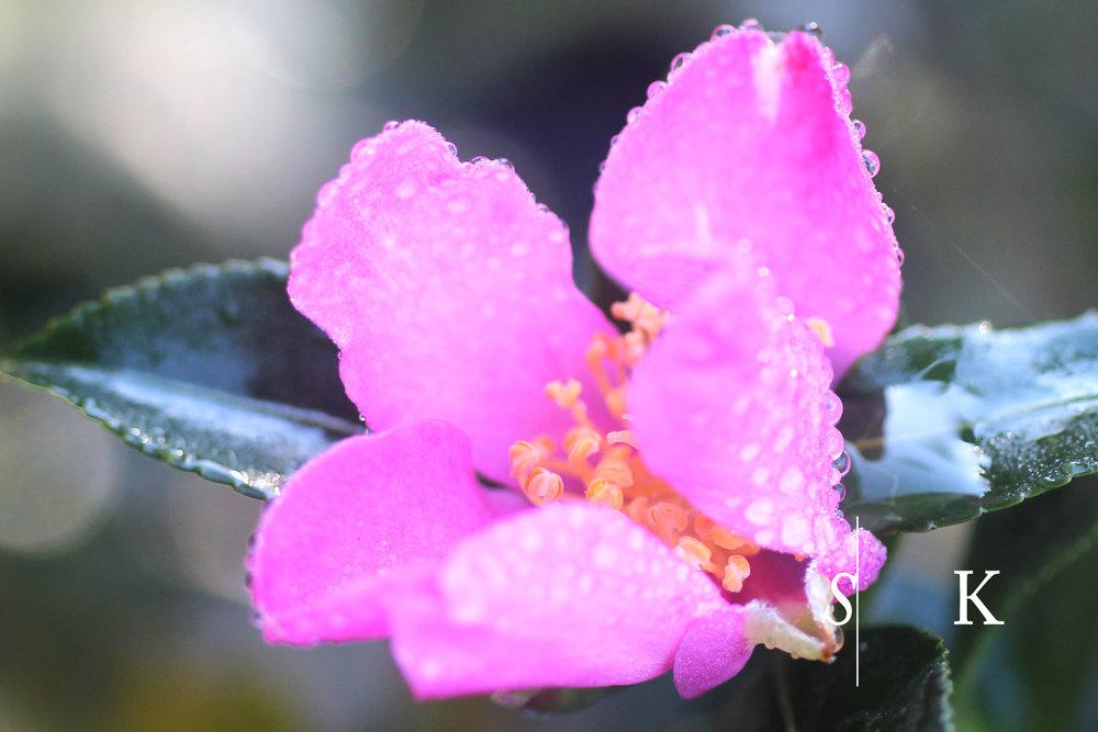 November Camellia Cornwall