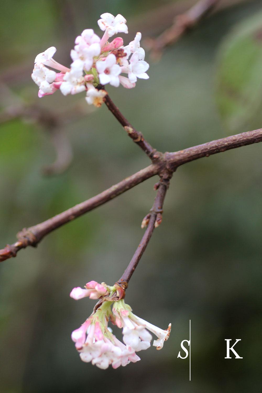 Selma-Garden-Design-NOVShrubs03.jpgNovember flowering Shrubs in Cornwall