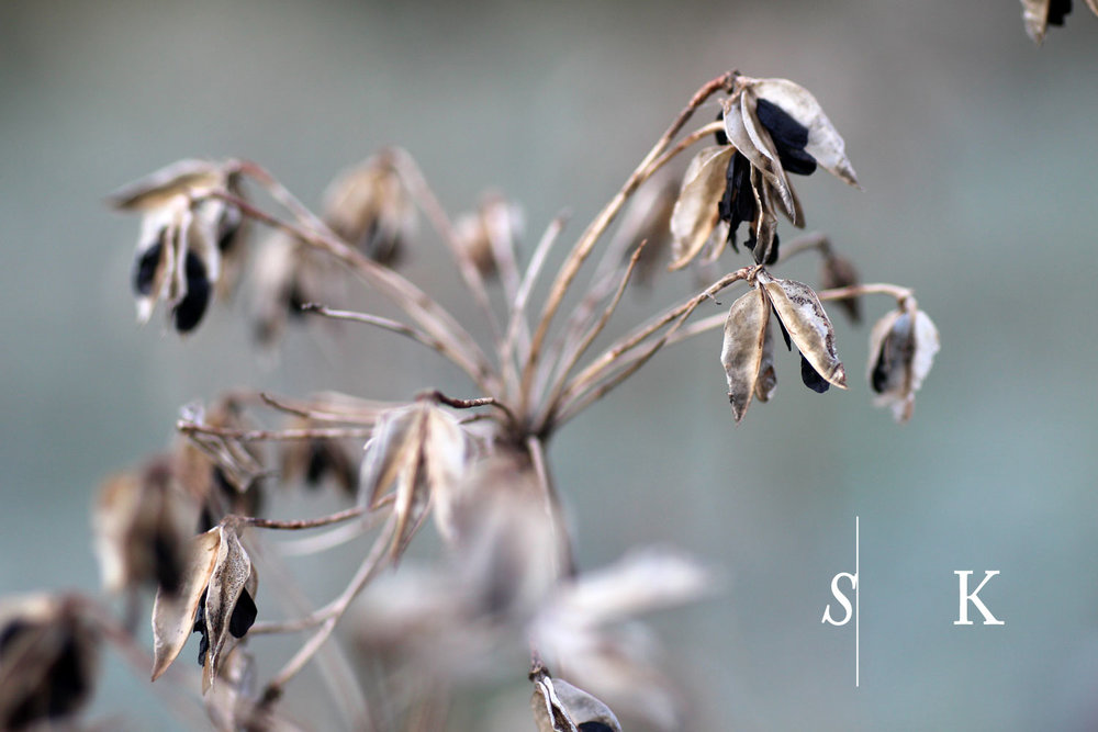 Agapanthus Seeds Winter