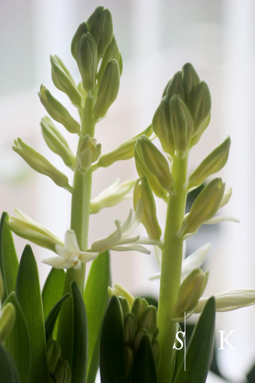 WHITE Hyacinths in Cornwall