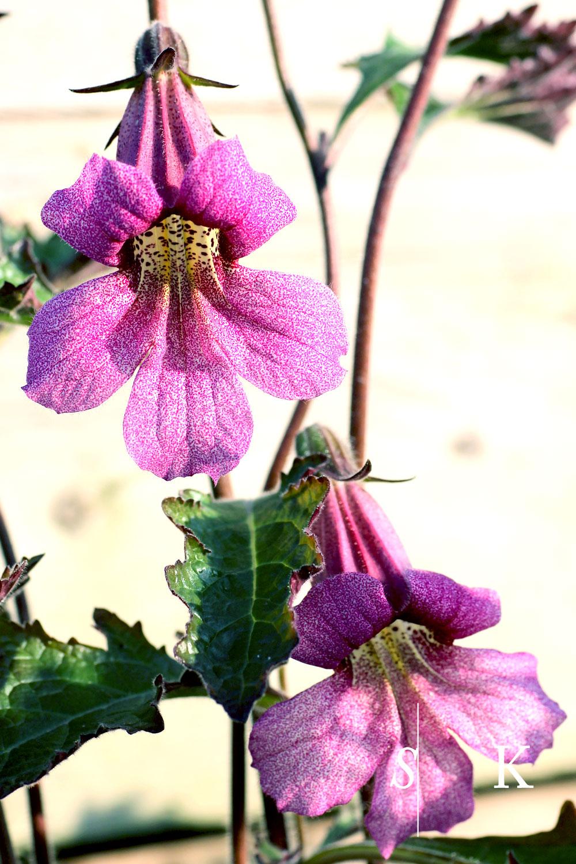 Garden Design in Cornwall Rehmannia in flower