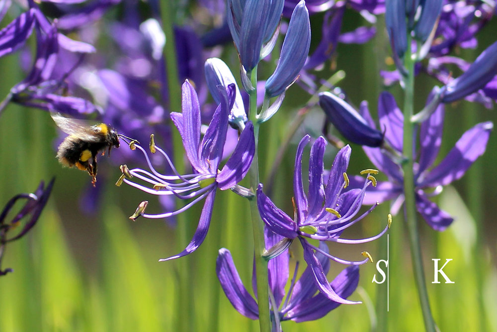Camassia quamash Bumble Bee in Cornwall