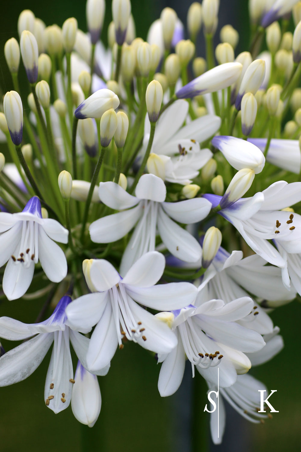 Agapanthus Queen Mum in Flower and Bud
