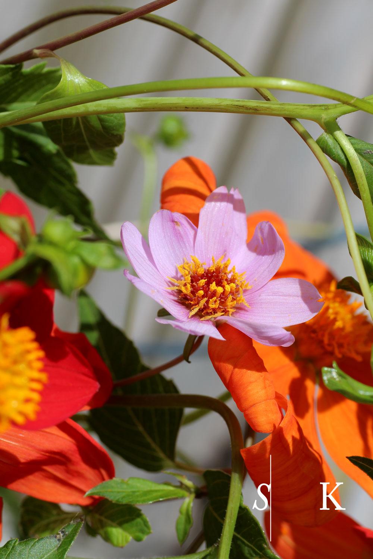 Dahlia Species Cornwall