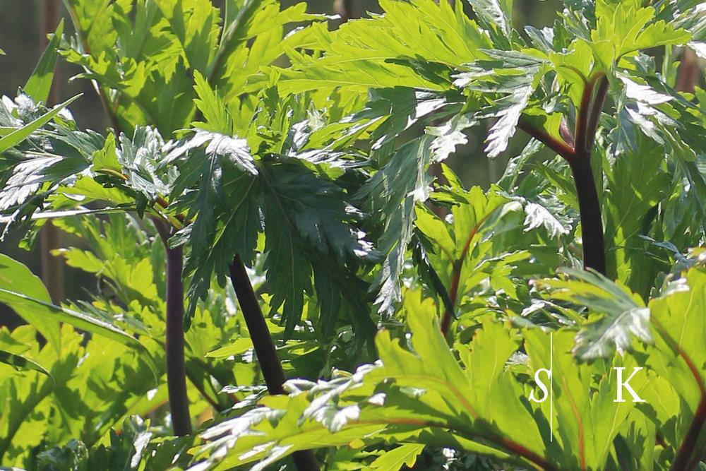 Geranium - maderense