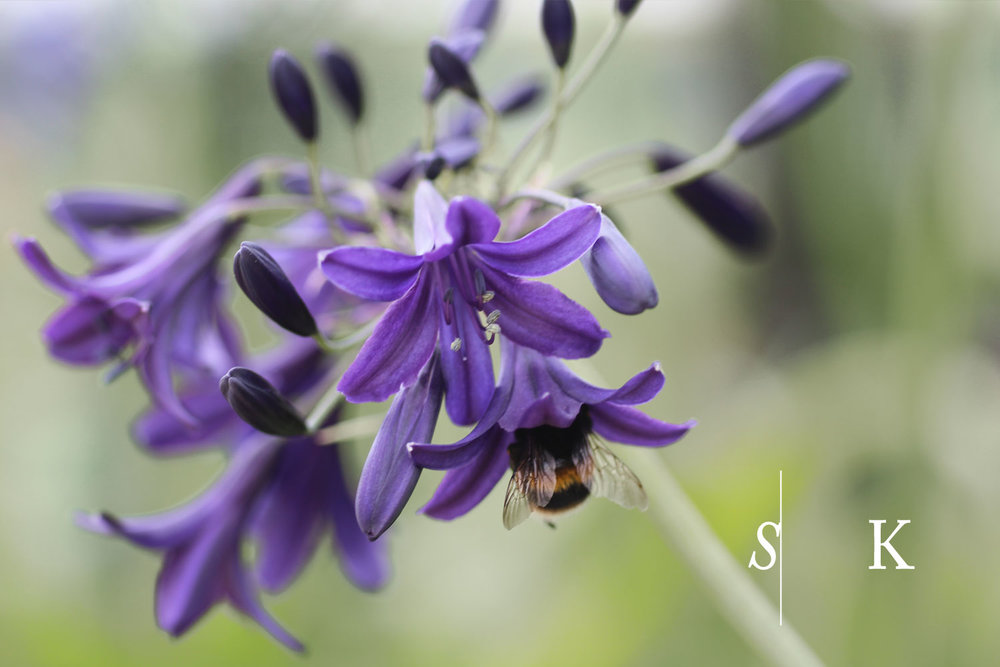 Cornwall Garden Design Agapanthus and Bumble Bee