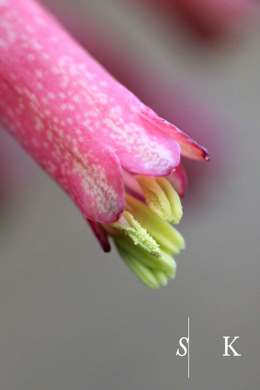 Veltheimia bracteata close up