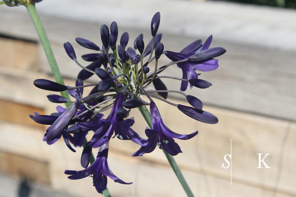 Agapanthus Cornwall Dark blue indigo dreams