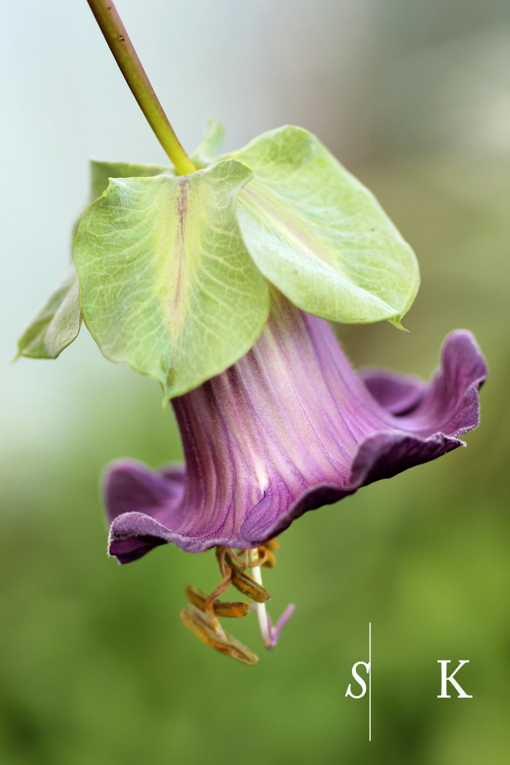 Cobaea scandens Cornwall Autumn