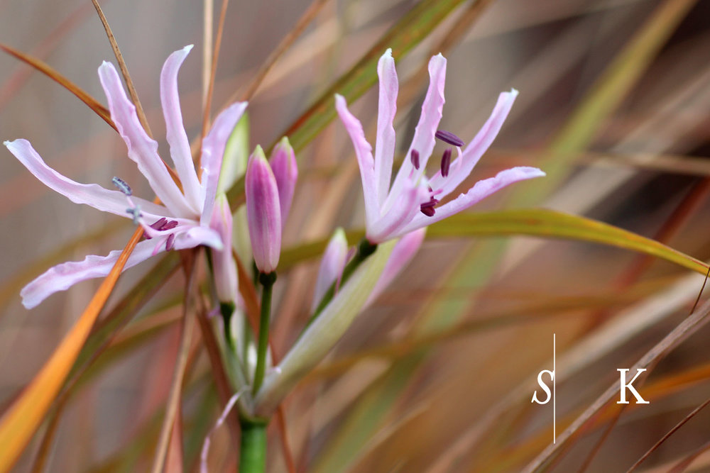 November Nerines in Cornwall Garden Design
