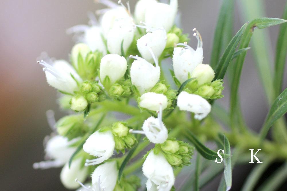 Echium leucophaeum Cornwall in Winter