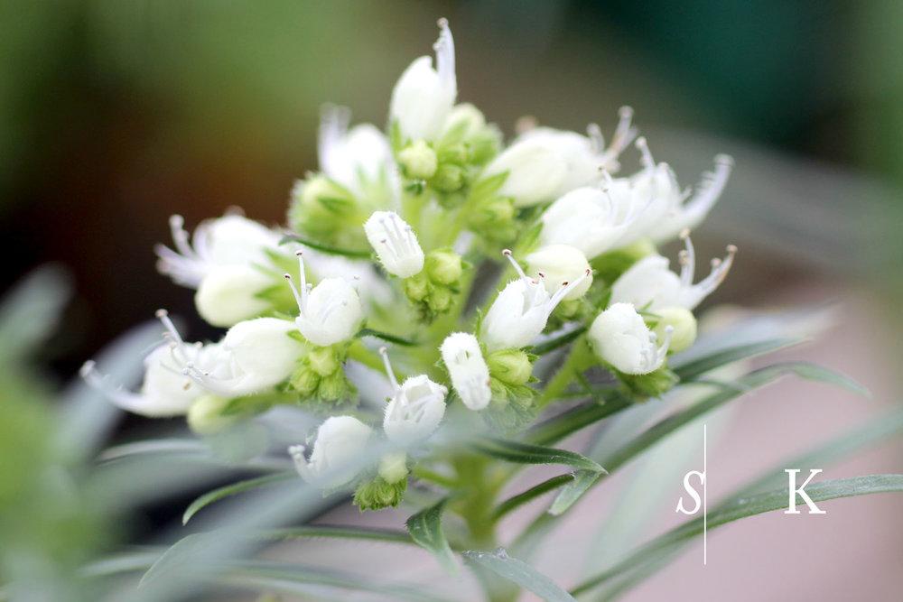 Echium leucophaeum in flower - Cornwall