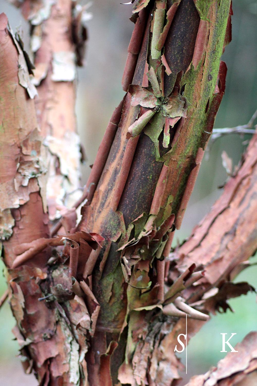 Winter bark Acer griseum