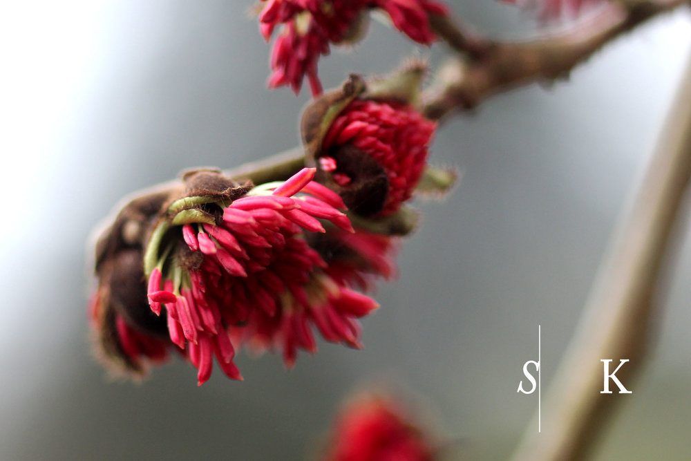 Parrotia Winter