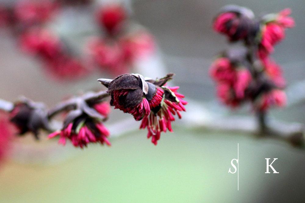 Parrotia Flowers