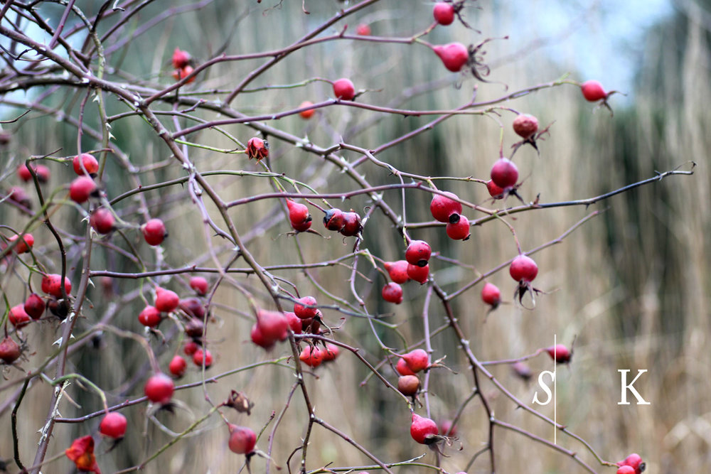 Rosehips winter