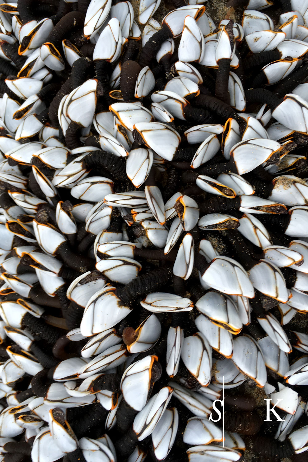 Goose Barnacle on the beach Perranporth Cornwall
