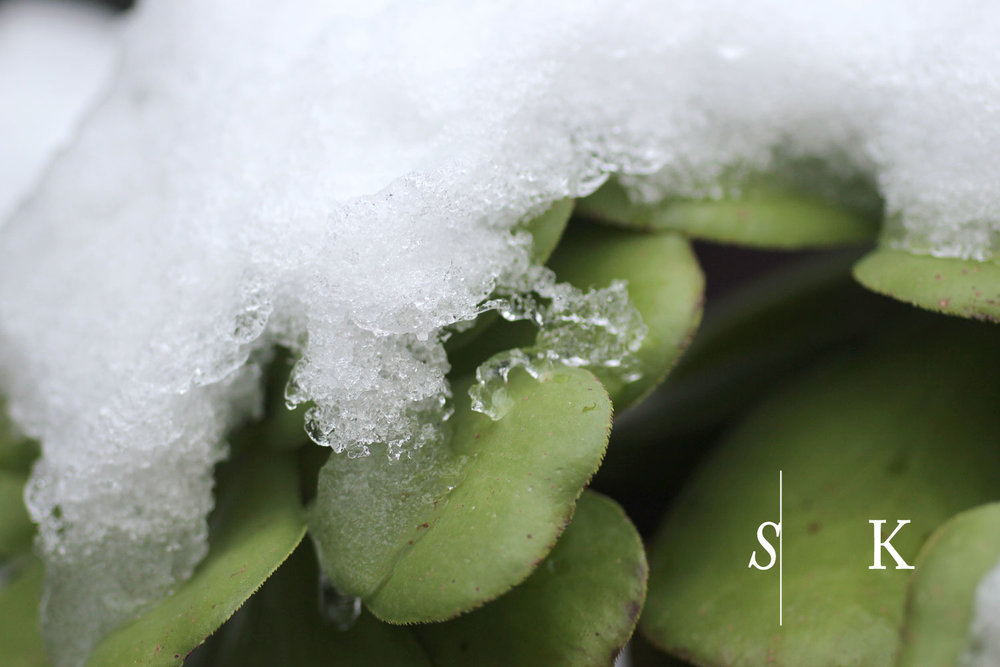 Snow and Aeonium  in Cornwall