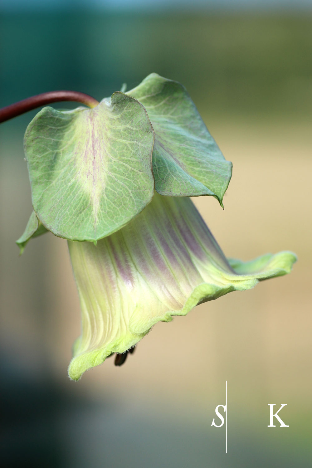 Cobaea scandens flowers