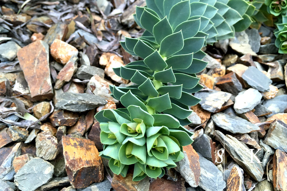 Euphorbia myrsenites