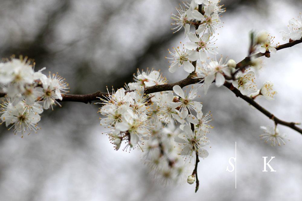 Fog and Prunus