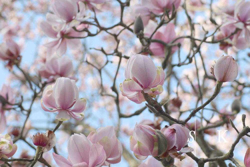 Magnolia Cornwall February