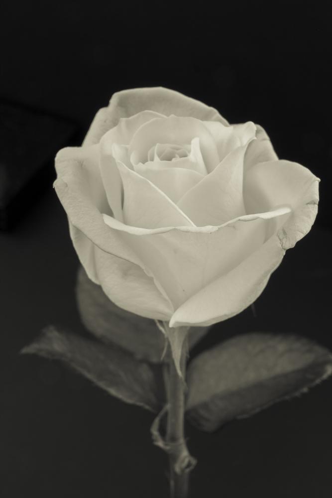 Low key rose