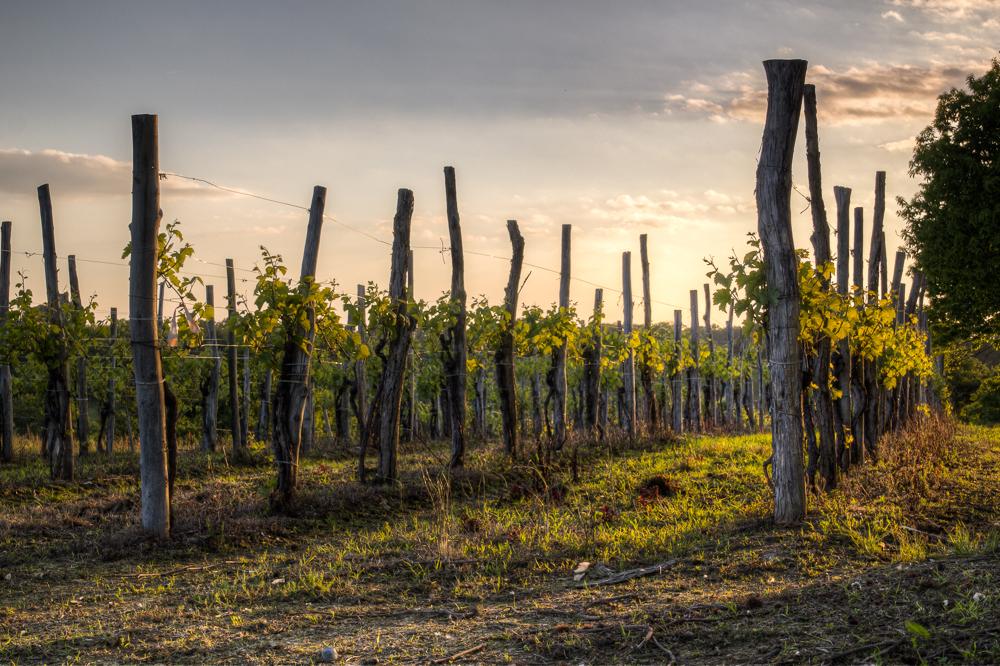 Vineyard, Pyrénées-Atlantiques
