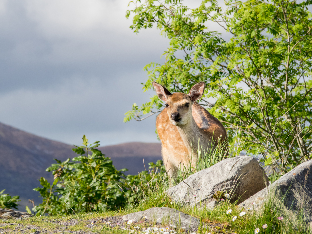 Sika Deer, KIllarney