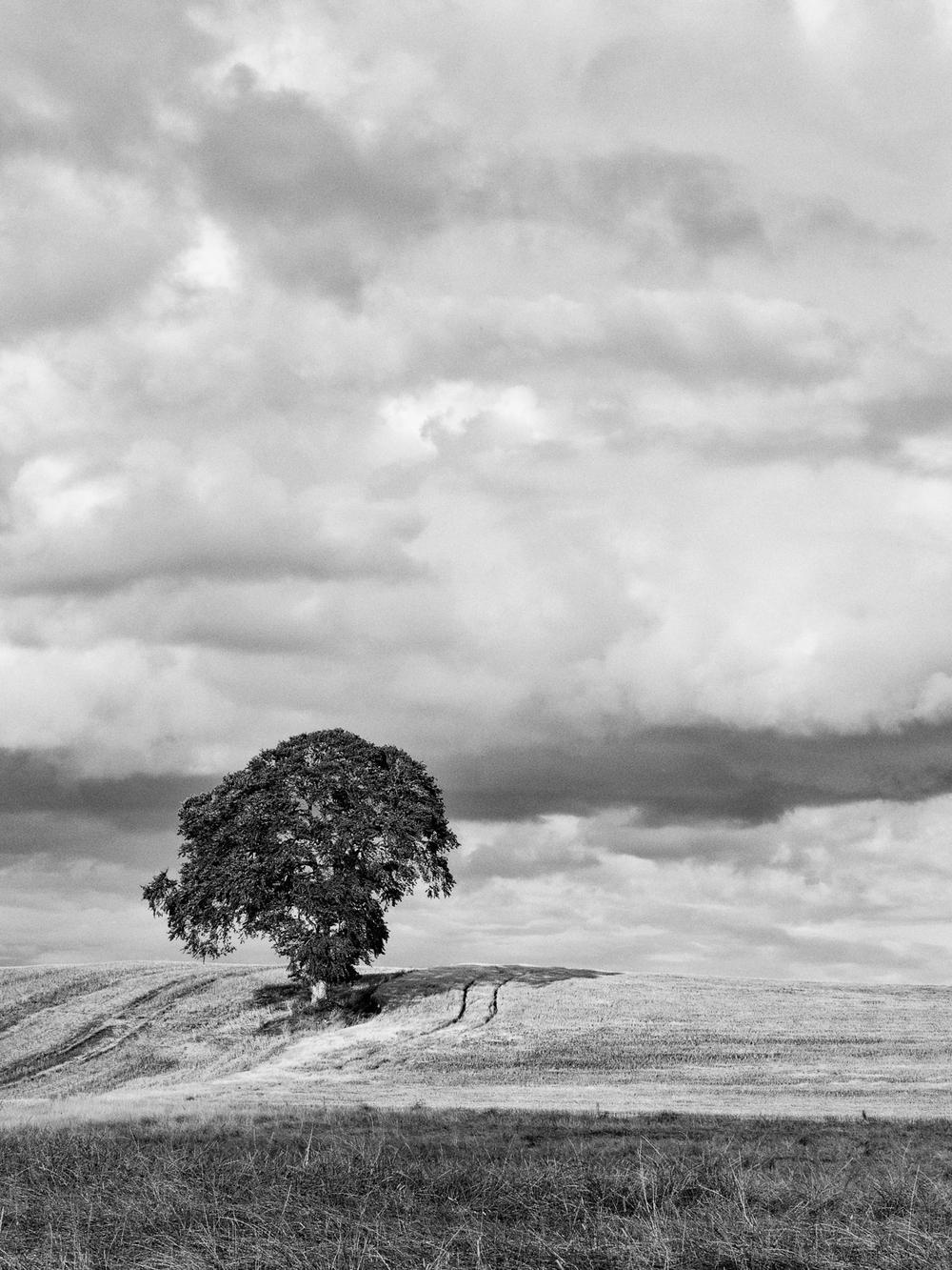 Carlow Tree