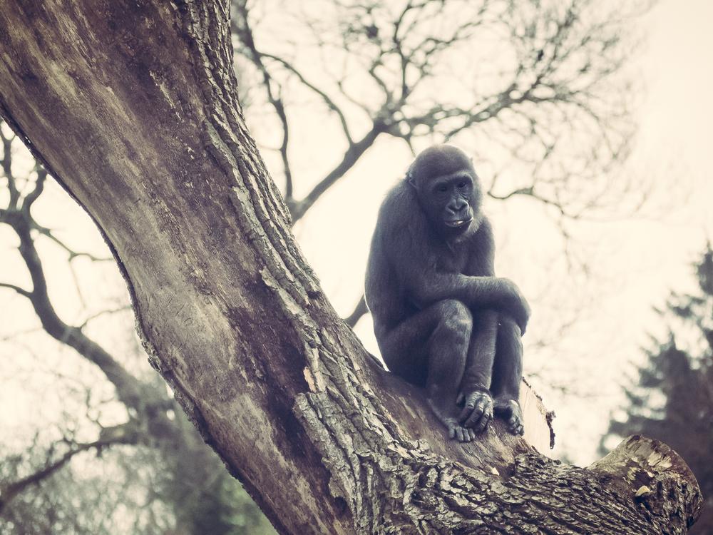 Western Lowland Gorilla Dublin Zoo