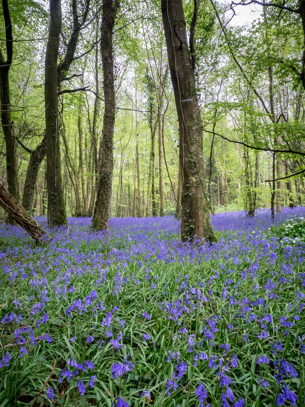 Killinthomas Woods_Killinthomas Bluebells_082.jpg