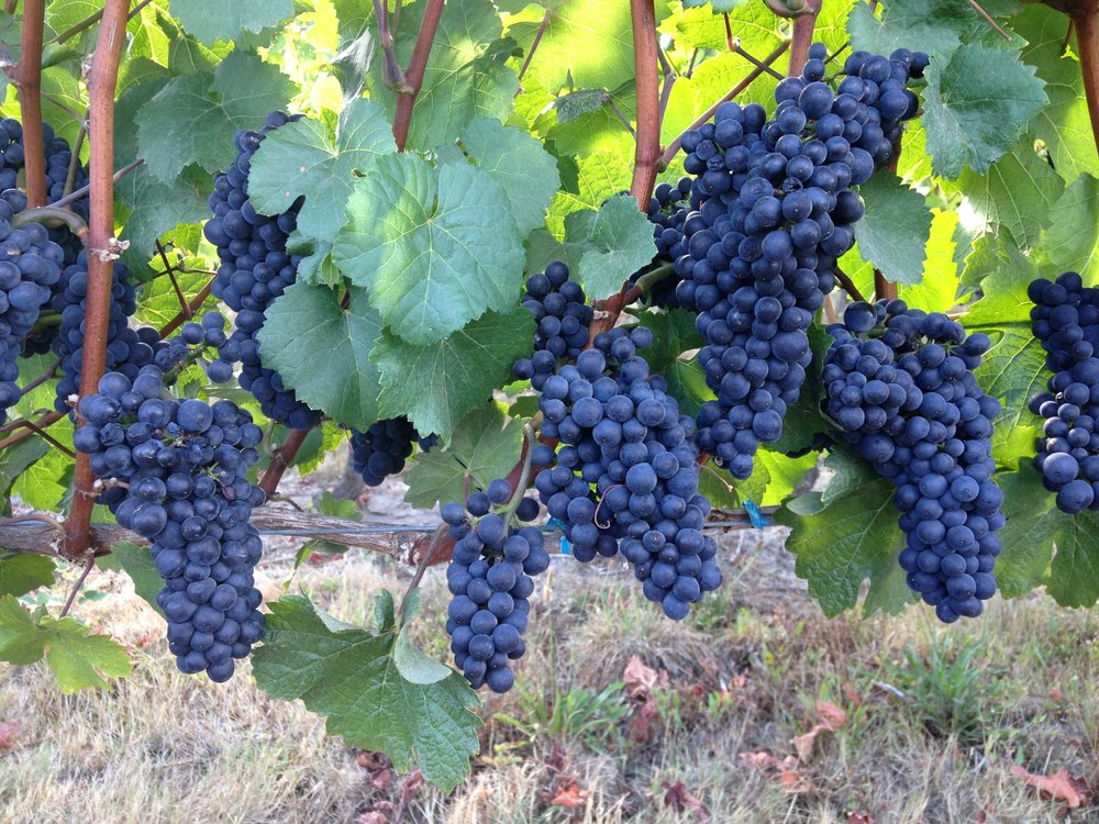 Pinot Noir on the vine at Four Graces