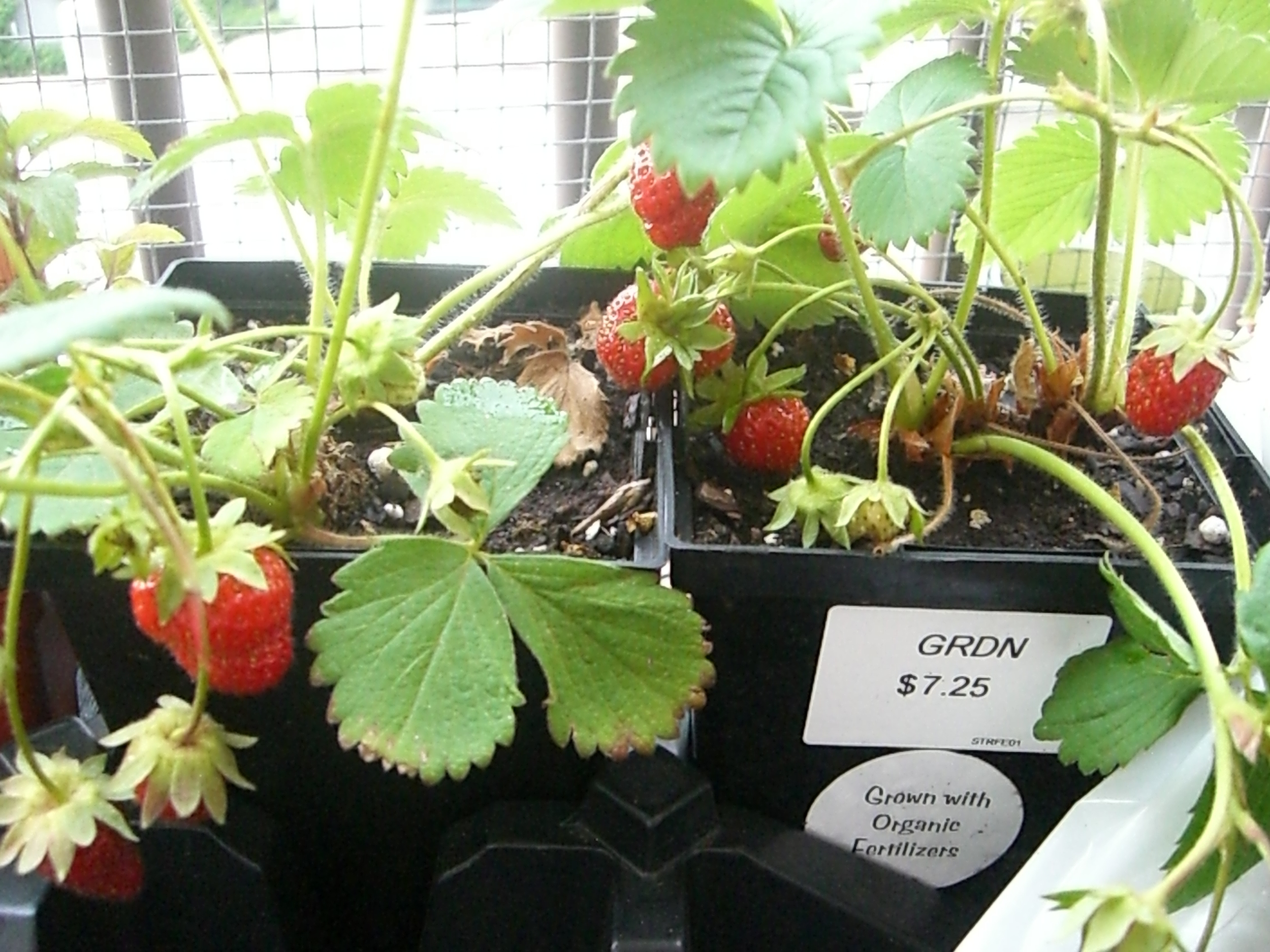 Organic, growing terrace strawberries.