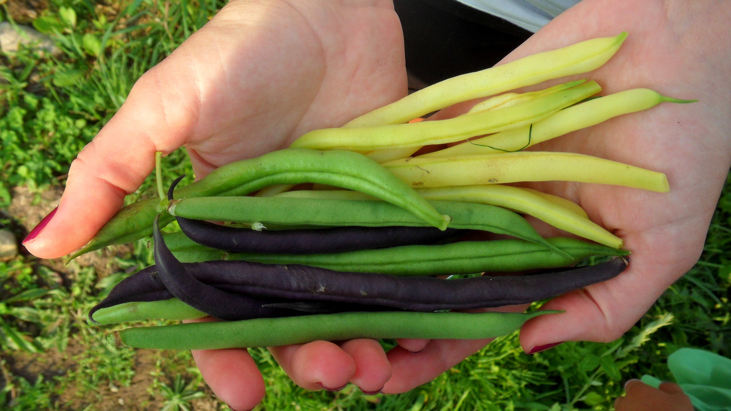 You can't get string beans fresher or purer than this!