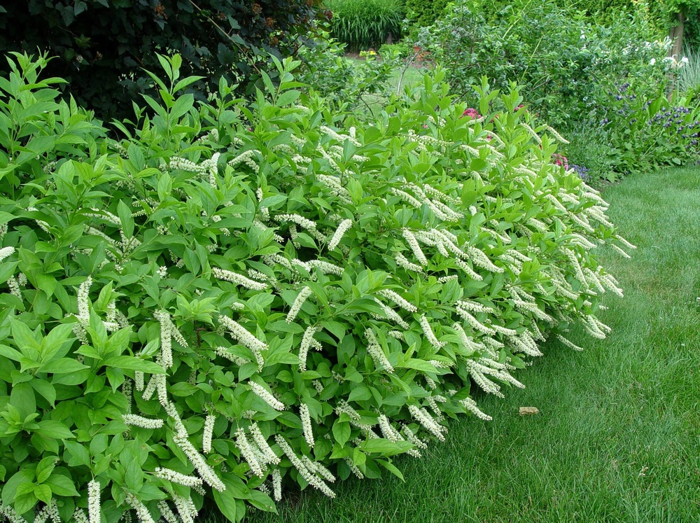 Itea virginica virginia sweetspire r r landscaping for Outdoor shrubs and plants