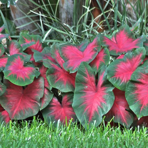 Caladuim - don't under estimate the power of foliage color! You don't always need a flower to make an impact.