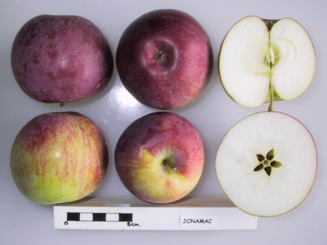 Jonamac apples. Image from Orange Pippin.