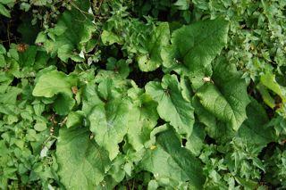burdock. image from  eat weeds .