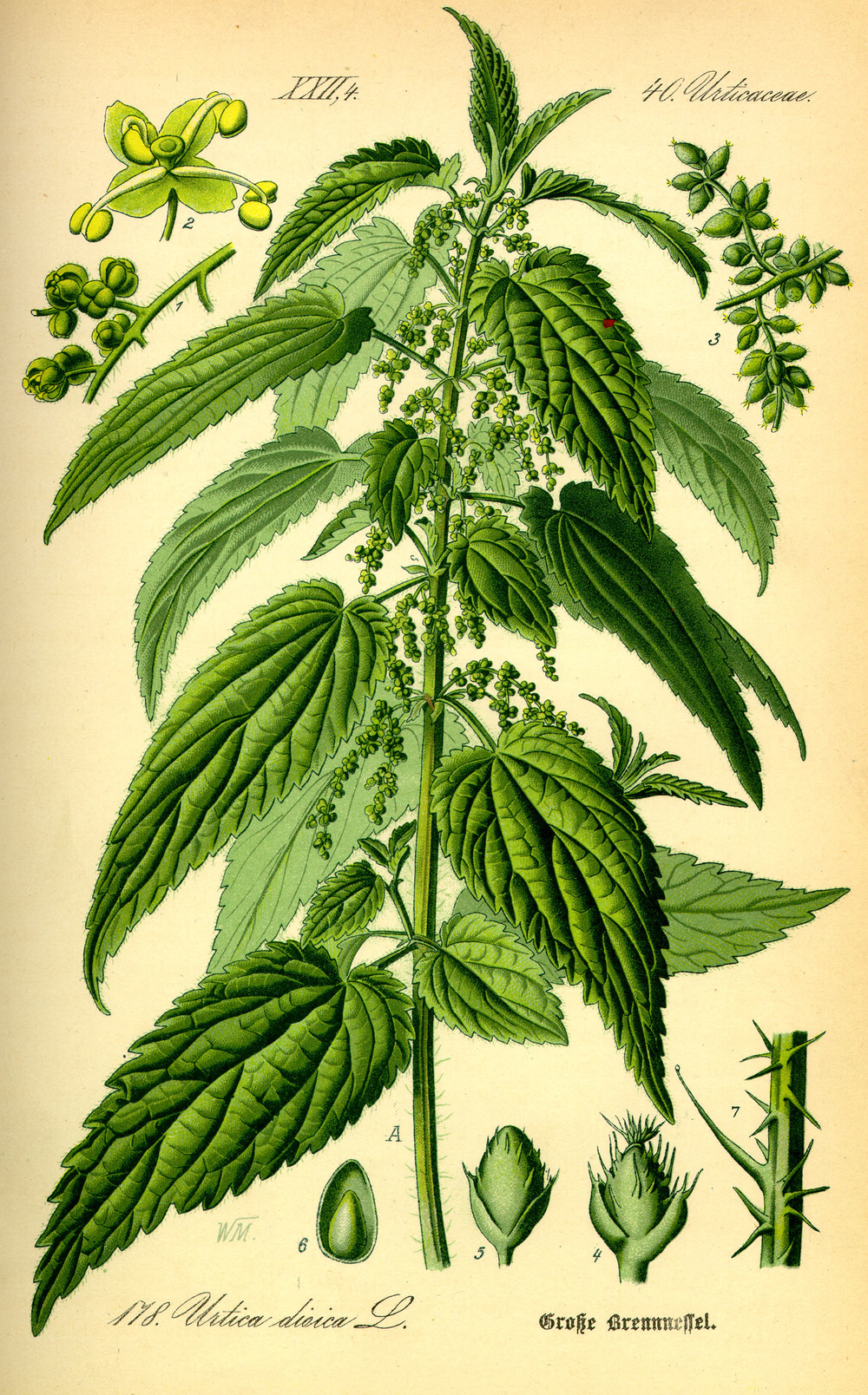 nettles. image from wikimedia.