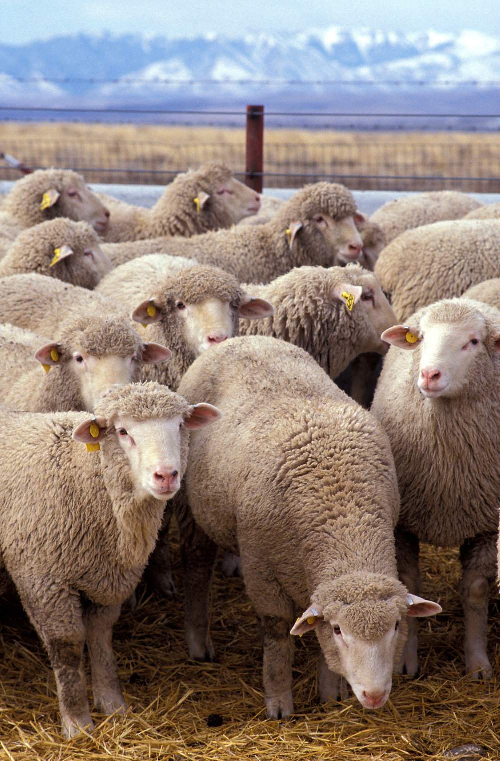 Flock_of_sheep.jpg
