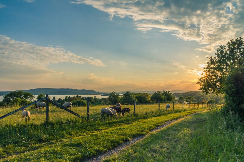 lake-constance-sheep-pasture-sheep-blue-158179.jpeg
