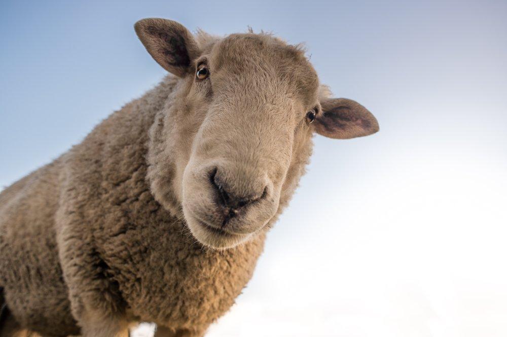 animal-cute-livestock-227691.jpg
