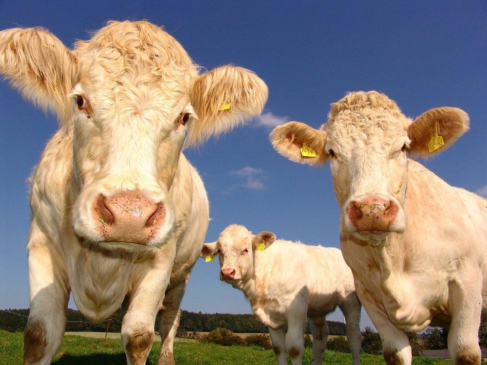 cows-1029077_1280.jpg