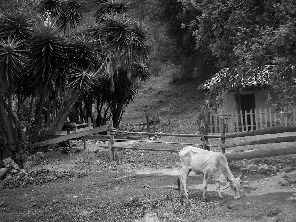 Honduran Cow