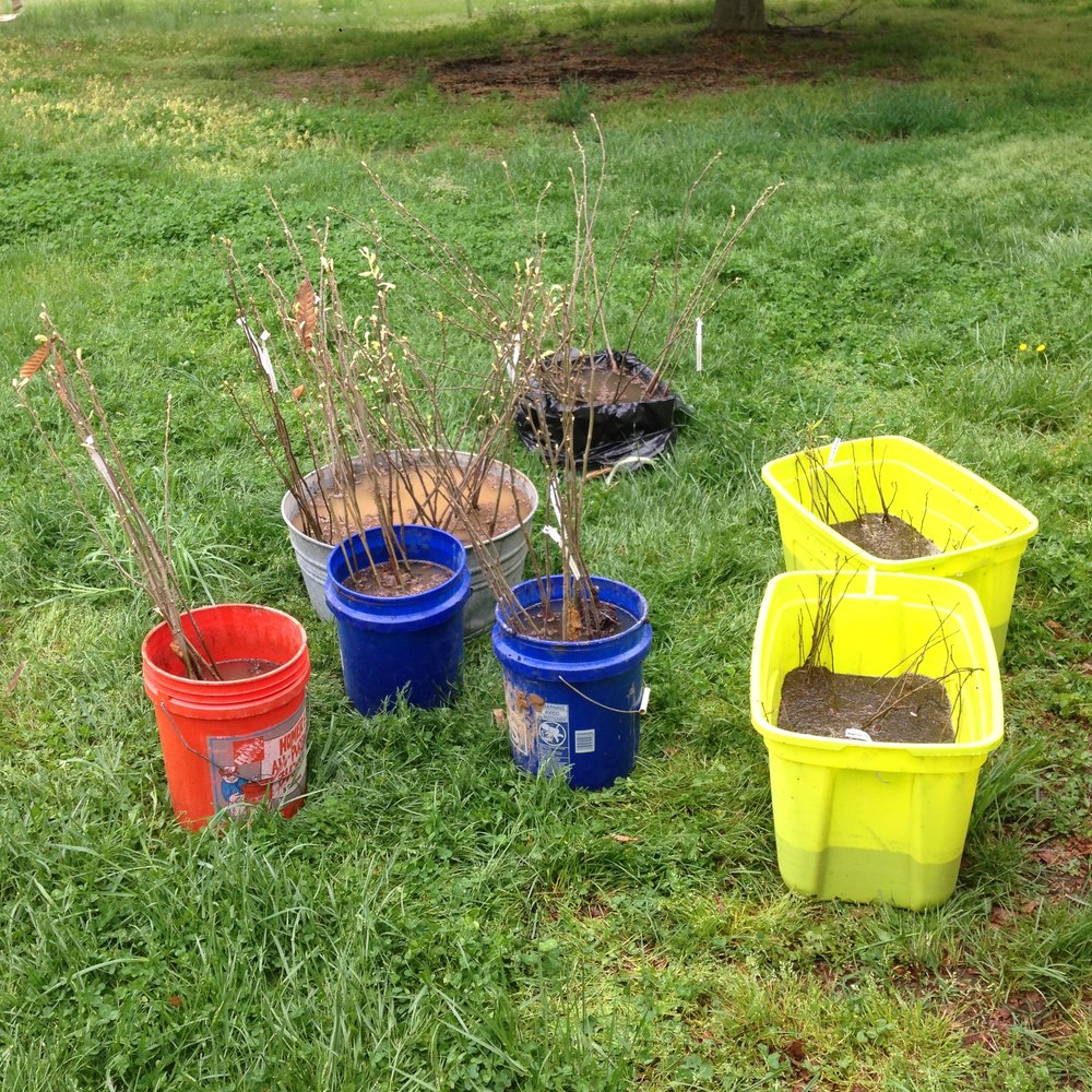 Spring 2017 photo 200 bare root seedlings: 100 Chinese chestnut (Qing, Damiano, Peach- Empire Chestnuts) and 100 pawpaw (Red Fern Farm)